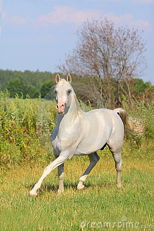 White arab stallion