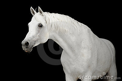 White arabian horse on black backgroud