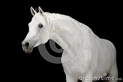 White arabian horse on black backgroud