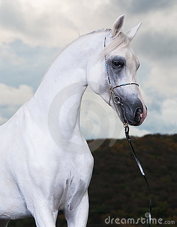 White arabian horse on the dark background