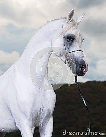 White arabian horse on the dark background