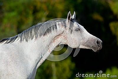 White Arabian horse in field