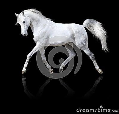 White arabian horse run isolated on black