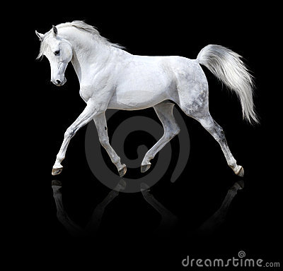 Free White Arabian Horse Run Isolated On Black Royalty Free Stock Photography - 9478507