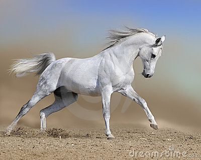 White arabian horse runs gallop in dust desert