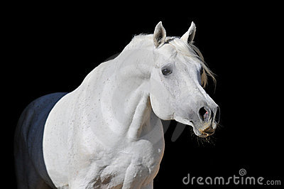White arabian horse stallion portrait
