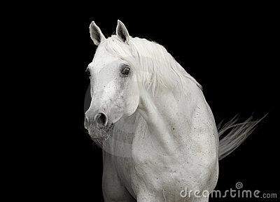 White arabian horse stallion portrait on black