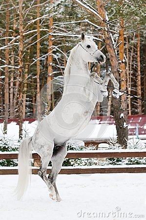 White arabian stallion portrait in winter