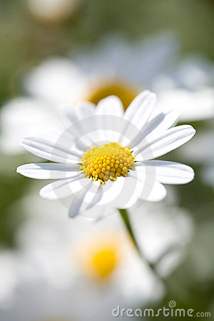 White Aster Daisy.