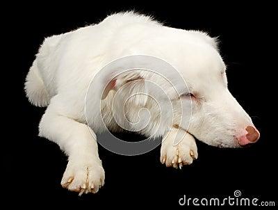White Australian Shepherd