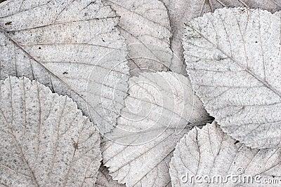 White autumn leaves