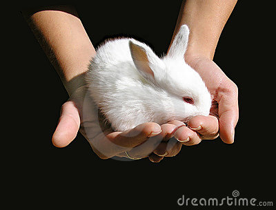 White baby-rabbit in woman s hands