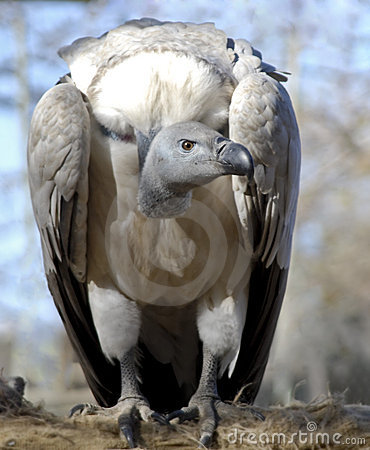 Free White-backed Vulture Stock Images - 6617684