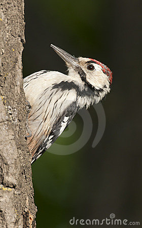 Free White-backed Woodpecker Stock Photography - 16200792