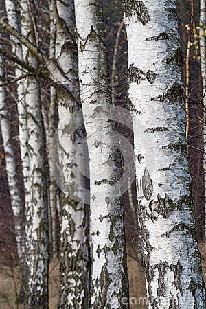 Free White Bark On Trees In Birch Forest Stock Photography - 63132762