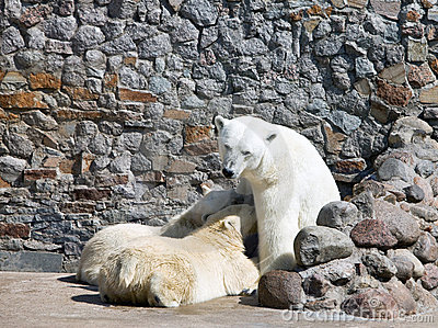 The white she-bear feeds newborn bear cubs with mi