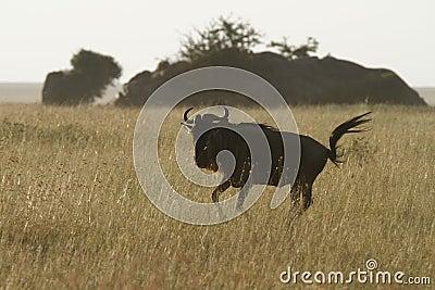 White-Bearded Wildebeest VI