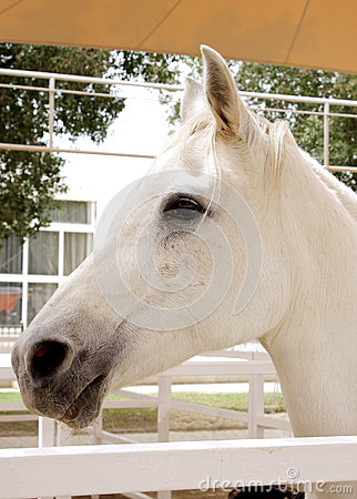 A white beautiful arabian horse