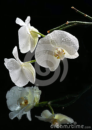 White beautiful orchid