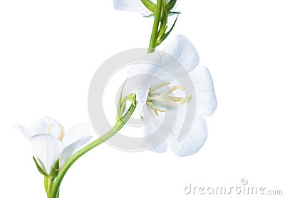 White bell flower on a white background, isolated