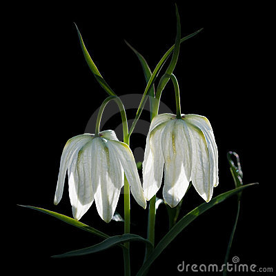 Free White Bellflower Close-up Flower For Big Poster. Royalty Free Stock Photography - 9700127