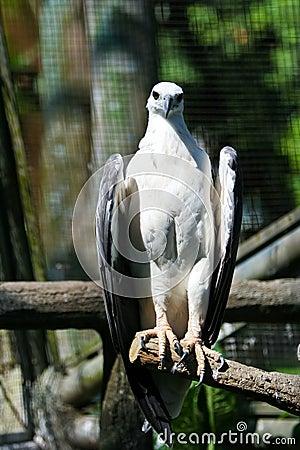 Free White-bellied Sea Eagle Stock Photos - 18876943