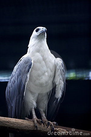 Free White-bellied Sea Eagle Royalty Free Stock Images - 23724809