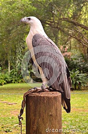 Free White-bellied Sea-eagle Stock Image - 26307291