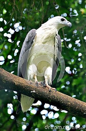 Free White Bellied Sea Eagle Stock Image - 34970771