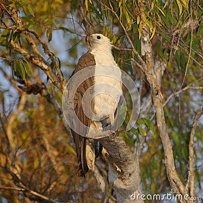 Free White-Bellied Sea Eagle, Australia Royalty Free Stock Photography - 77031187