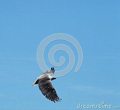 White bellied sea eagle in flight