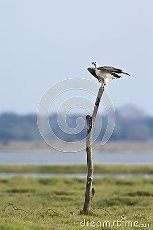 Free White-bellied Sea Eagle In Pottuvil, Sri Lanka Stock Photo - 55625230