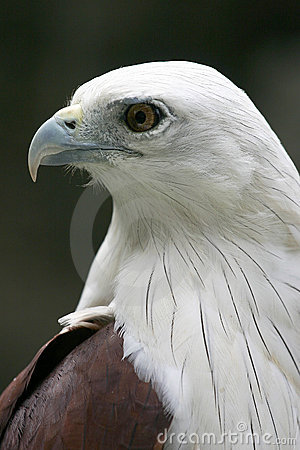 Free White Bellied Sea Eagle Profile Portrait Royalty Free Stock Images - 269179