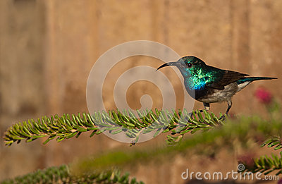 White-bellied sunbird on a leafy branch