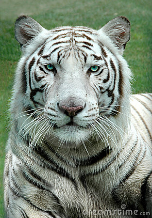 Free White Benagal Tiger Royalty Free Stock Photography - 2960777