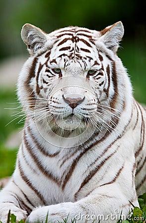Free White Bengal Tiger Stock Images - 28128954