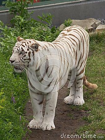 Free White Bengal Tiger Stock Photo - 937260