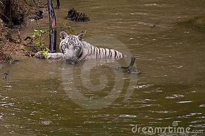 A White Bengal Tiger cooling off in a river