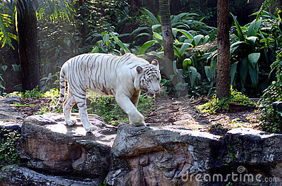 White Bengal Tiger on the prowl