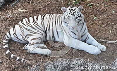 A White Bengal Tiger staring