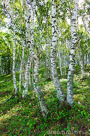 Free White Birch Forest Landscape Stock Images - 23036954