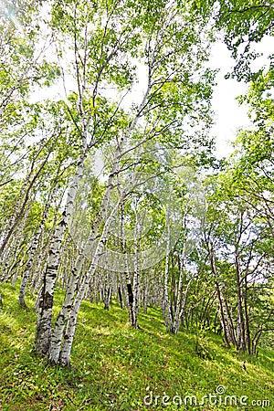 Free White Birch Forest Landscape Stock Photo - 23037800