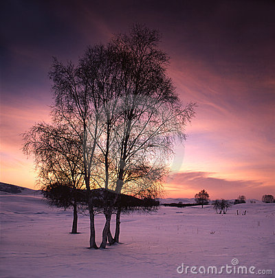 Free White Birch In The Snow Field Stock Photography - 14191392