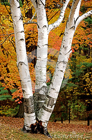 Free White Birch Tree In Autumn Stock Image - 66629411