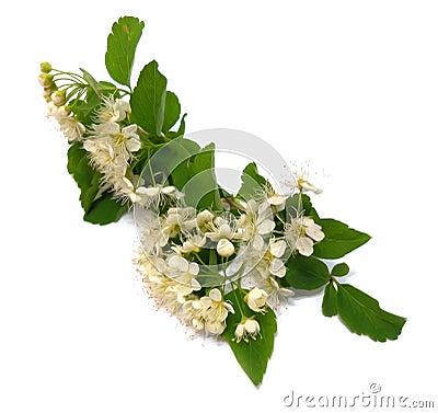 Free White Bird Cherry Branch Isolated Flower, Photo Manipulation Royalty Free Stock Image - 105817746
