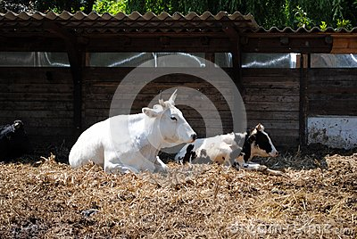 White and black cows
