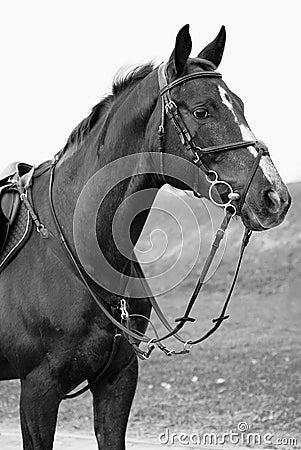 White and black horse portrait
