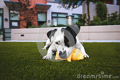 White And Black Jack Russell Terrier Biting Orange Rubber Pig Chew Toy Laying Down On Green Grass Lawn Free Public Domain Cc0 Image