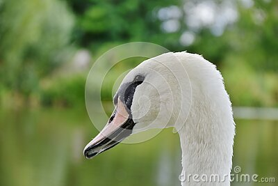 White And Black Swan In Sahllowphotography Free Public Domain Cc0 Image