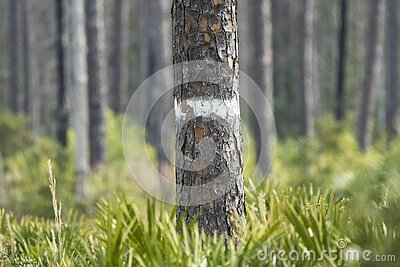 White blaze indicating artificial nest cavity in Long Leaf Pine tree for endangered Red-cockaded Woodpecker